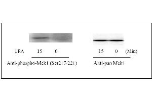 Western Blotting (WB) image for MAP2K1 ELISA Kit (Mitogen-Activated Protein Kinase Kinase 1) (ABIN1981725)