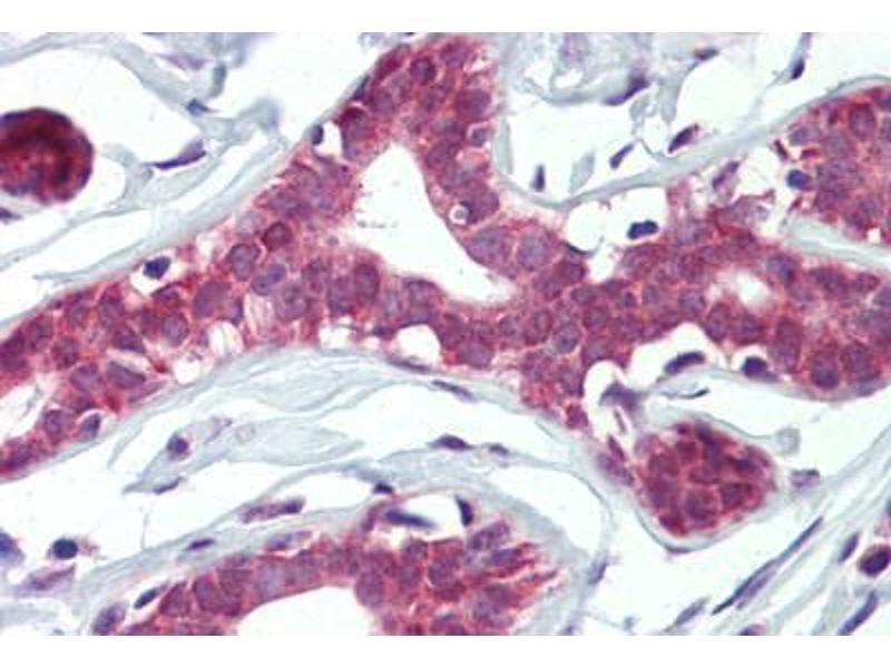 Image no. 1 for anti-Elf4 (AA 211-237) antibody (ABIN462321)