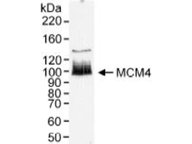 Western Blotting (WB) image for anti-Minichromosome Maintenance Deficient 4 (MCM4) (AA 750-800) antibody (ABIN151756)