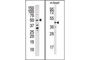 Image no. 1 for anti-Dual Specificity Phosphatase 10 (DUSP10) (N-Term) antibody (ABIN360788)
