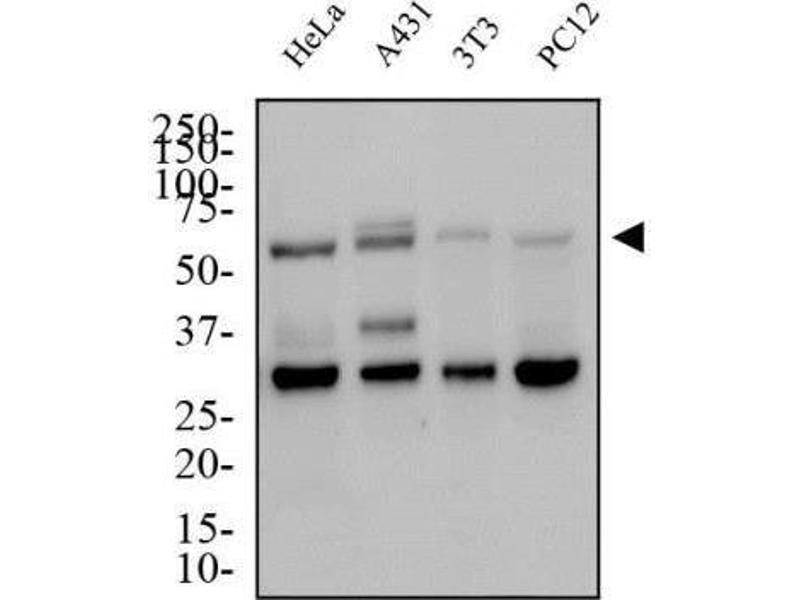 Western Blotting (WB) image for anti-Solute Carrier Family 2 (Facilitated Glucose Transporter), Member 4 (SLC2A4) (AA 480-509), (C-Term) antibody (ABIN4314628)