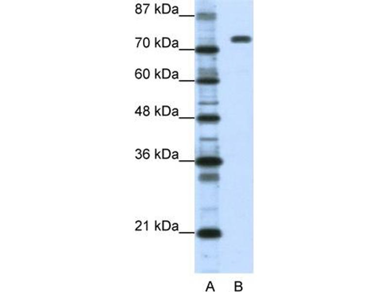 Western Blotting (WB) image for anti-Nucleolin (NCL) (C-Term) antibody (ABIN2778936)
