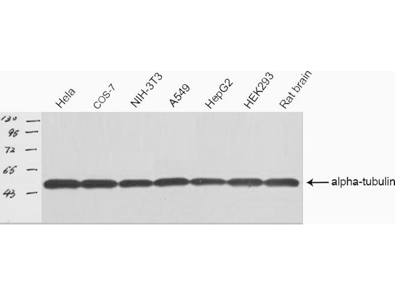 Western Blotting (WB) image for anti-alpha Tubulin (TUBA1) antibody (ABIN6269432)