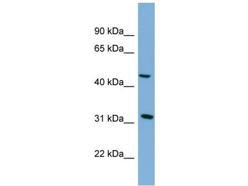 Western Blotting (WB) image for anti-serpin Peptidase Inhibitor, Clade I (Pancpin), Member 2 (SERPINI2) (Middle Region) antibody (ABIN504049)