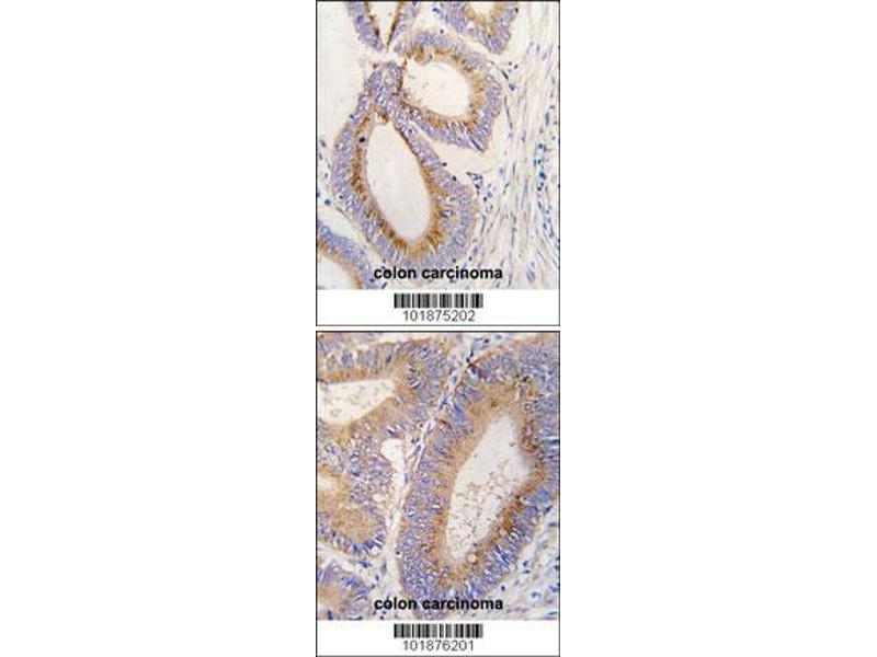 Immunohistochemistry (IHC) image for anti-Growth Differentiation Factor 11 (GDF11) (AA 32-61), (N-Term) antibody (ABIN388814)
