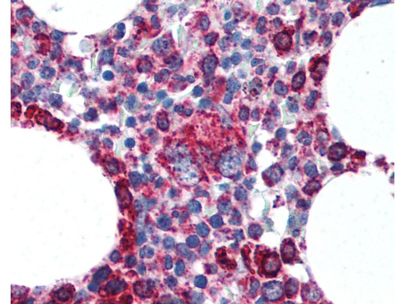 Immunohistochemistry (IHC) image for anti-Cytochrome C, Somatic (CYCS) (AA 1-80) antibody (ABIN305748)