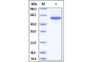 Image no. 1 for Lymphocyte-Activation Gene 3 (LAG3) (AA 23-450) (Active) protein (His tag) (ABIN2181447)
