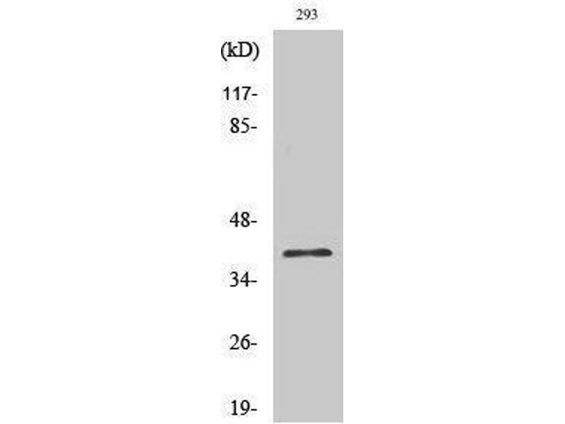 Western Blotting (WB) image for anti-COP9 Constitutive Photomorphogenic Homolog Subunit 5 (Arabidopsis) (COPS5) (Internal Region) antibody (ABIN3185252)