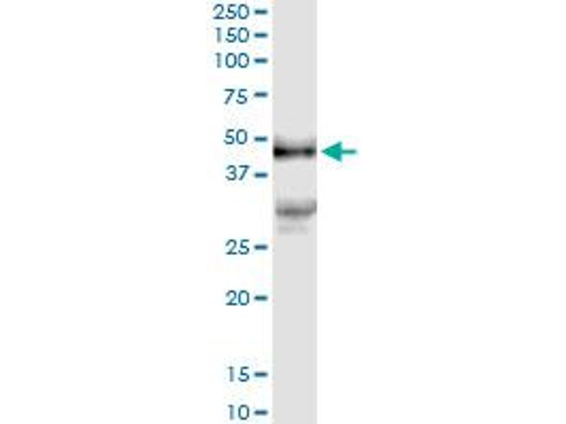 Immunoprecipitation (IP) image for anti-Platelet Derived Growth Factor D (PDGFD) (AA 1-364), (full length) antibody (ABIN529260)