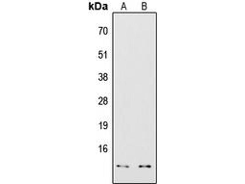 Image no. 2 for anti-COX7A2/3 (N-Term) antibody (ABIN2707446)