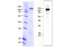 Image no. 2 for K-Cadherin (CDH6) (AA 54-615) protein (MBP tag) (ABIN3090226)