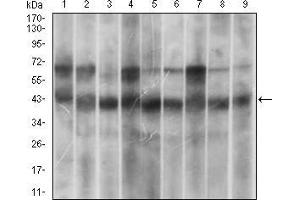 Western Blotting (WB) image for anti-MAPK14 antibody (Mitogen-Activated Protein Kinase 14) (AA 299-360) (ABIN1724904)