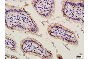 Image no. 1 for anti-Chromosome 6 Open Reading Frame 192 (C6orf192) (AA 50-80) antibody (ABIN1385782)