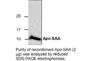 Western Blotting (WB) image for ApoSAA (Active) 蛋白 (ABIN413038)