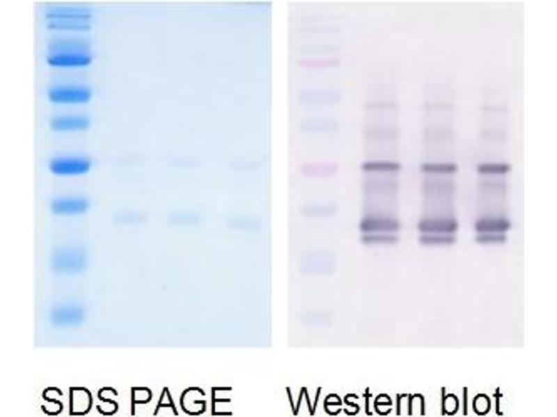Western Blotting (WB) image for H1n1 Matrix Protein 1 protein (ABIN3172539)