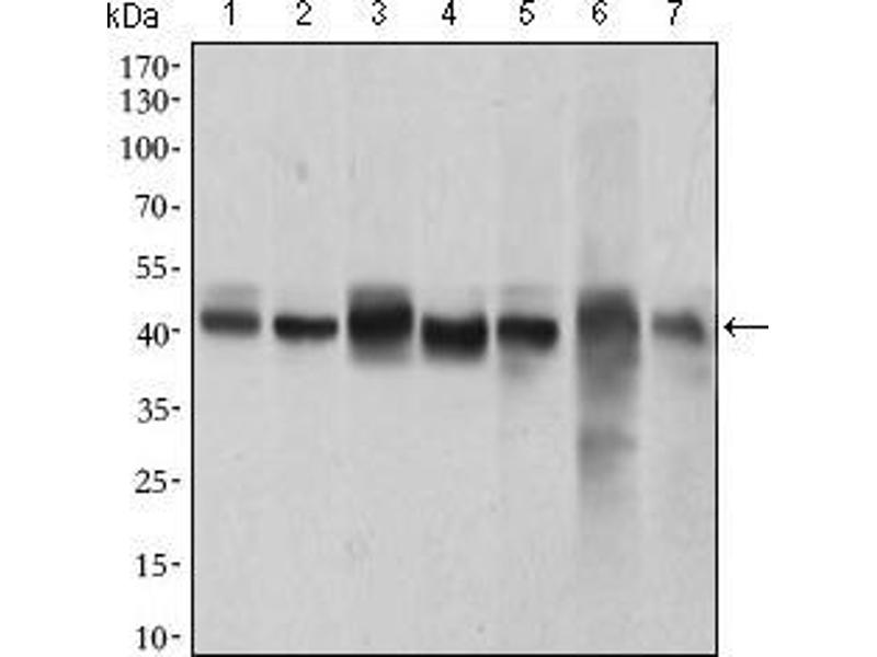 Western Blotting (WB) image for anti-Mitogen-Activated Protein Kinase 14 (MAPK14) (AA 299-360) antibody (ABIN1724830)
