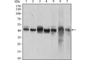 Western Blotting (WB) image for anti-MAPK14 antibody (Mitogen-Activated Protein Kinase 14) (AA 299-360) (ABIN1724830)