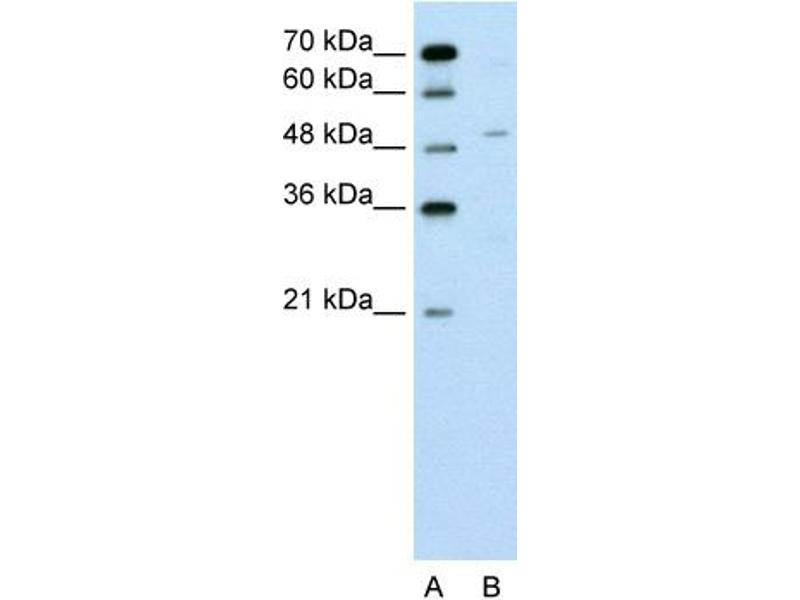 Western Blotting (WB) image for anti-Zinc Finger Protein 19 (ZNF19) (N-Term) antibody (ABIN310322)