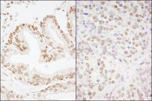 Immunocytochemistry (ICC) image for anti-cAMP Responsive Element Binding Protein 1 (CREB1) (AA 250-300) antibody (ABIN257735)