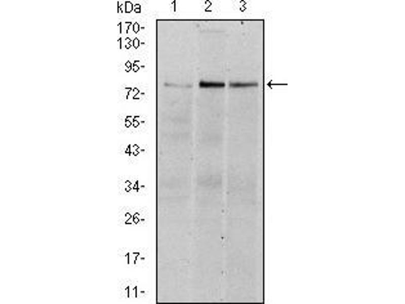 Western Blotting (WB) image for anti-RPS6KA3 antibody (Ribosomal Protein S6 Kinase, 90kDa, Polypeptide 3) (ABIN969386)