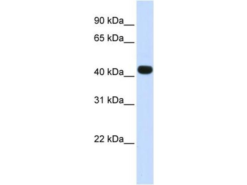 Western Blotting (WB) image for anti-Heparan Sulfate (Glucosamine) 3-O-Sulfotransferase 3B1 (HS3ST3B1) (N-Term) antibody (ABIN502766)