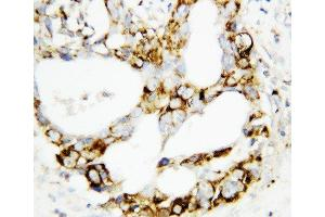 Image no. 2 for anti-Mitogen-Activated Protein Kinase Kinase 3 (MAP2K3) (AA 320-334), (C-Term) antibody (ABIN3044392)