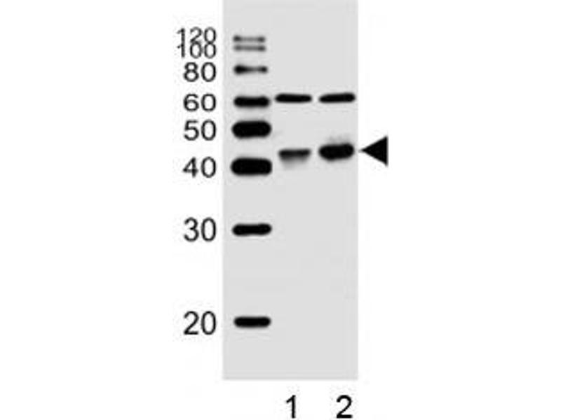 Western Blotting (WB) image for anti-Wingless-Type MMTV Integration Site Family, Member 16 (WNT16) (AA 236-265) antibody (ABIN3029626)