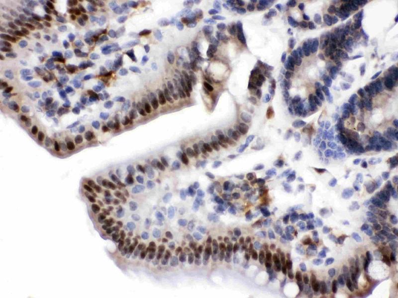 Image no. 1 for anti-Nicotinamide phosphoribosyltransferase (NAMPT) (AA 62-337) antibody (ABIN4886677)