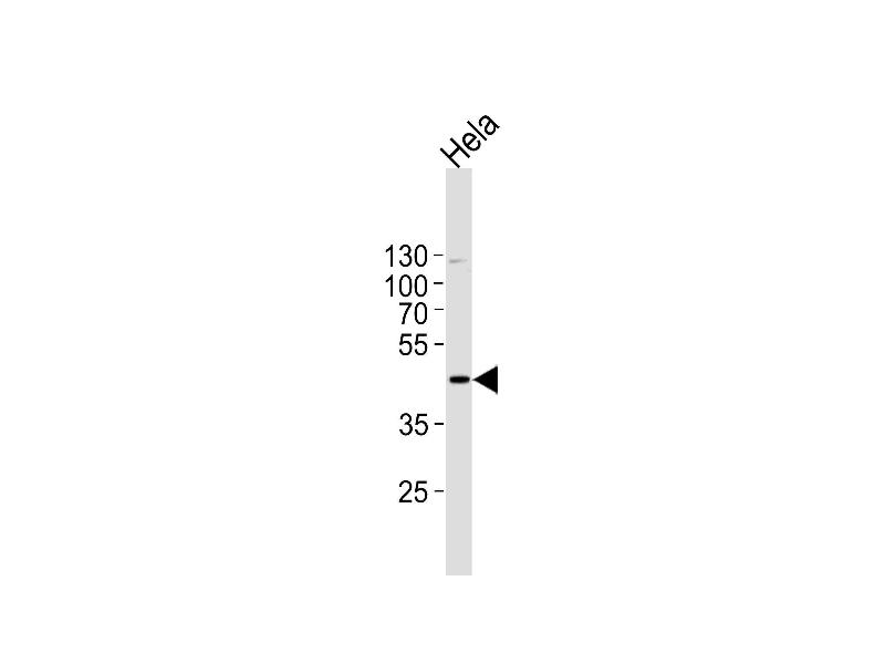 Western Blotting (WB) image for anti-Mitogen-Activated Protein Kinase 1 (MAPK1) (AA 316-345), (C-Term) antibody (ABIN1882175)