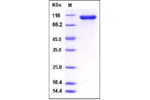Image no. 1 for Signal Transducer and Activator of Transcription 1, 91kDa (STAT1) (AA 1-712) protein (GST tag,His tag) (ABIN2005323)