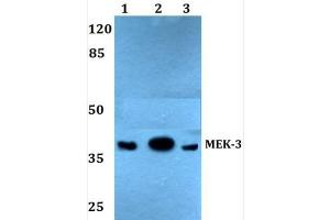 Western Blotting (WB) image for anti-MAP2K3 antibody (Mitogen-Activated Protein Kinase Kinase 3) (ABIN407737)