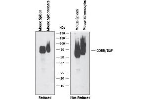 Western Blotting (WB) image for anti-Complement Decay-Accelerating Factor (CD55) (AA 35-359) antibody (ABIN4900282)