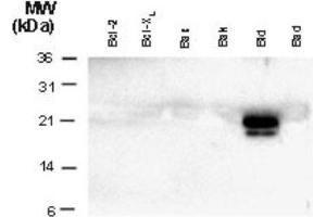 Western Blotting (WB) image for anti-BID antibody (BH3 Interacting Domain Death Agonist) (ABIN4284618)