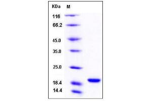 Image no. 1 for Peptidylprolyl Isomerase A (Cyclophilin A) (PPIA) (AA 1-165) protein (His tag) (ABIN2002845)