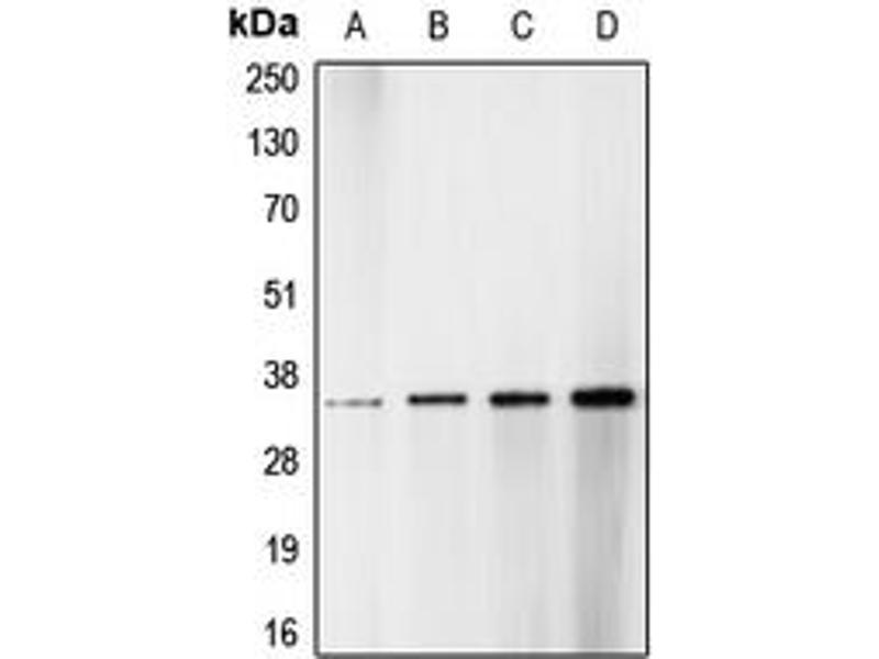 Image no. 2 for anti-CDK1/2/3 (N-Term), (pSer14) antibody (ABIN2707416)