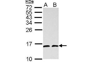 Image no. 5 for anti-NHP2 Non-Histone Chromosome Protein 2-Like 1 (S. Cerevisiae) (NHP2L1) (full length) antibody (ABIN2856662)