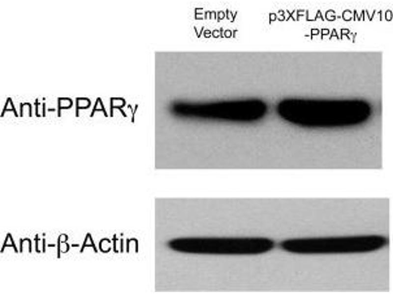 Western Blotting (WB) image for anti-beta Actin antibody (Actin, beta) (ABIN153390)
