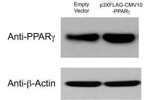 Western Blotting (WB) image for anti-beta Actin antibody (Actin, beta) (ABIN153390)