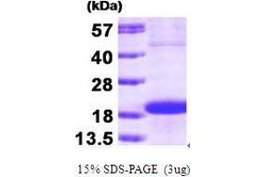 Image no. 1 for S-Phase Kinase-Associated Protein 1 (SKP1) (AA 1-160) protein (ABIN935072)