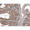 anti-Fas Associated Factor Family Member 2 (FAF2) (C-Term) antibody