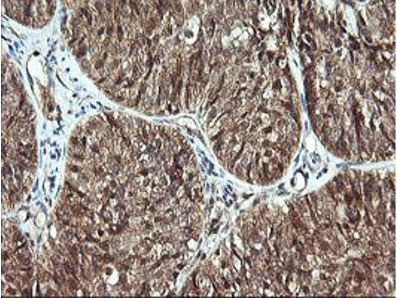 image for anti-Cell Division Cycle 123 Homolog (S. Cerevisiae) (CDC123) antibody (ABIN1497389)