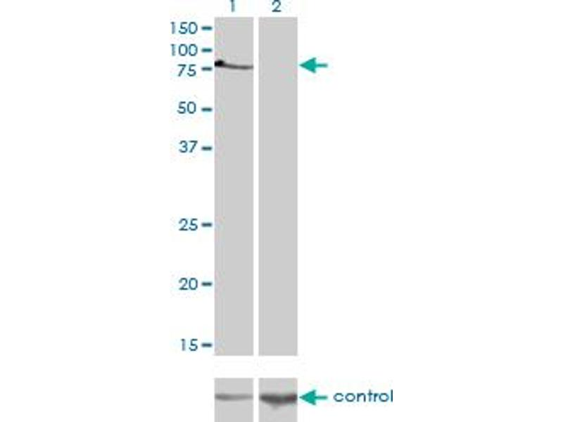Western Blotting (WB) image for anti-T-Box 2 (TBX2) (AA 603-702), (partial) antibody (ABIN563097)