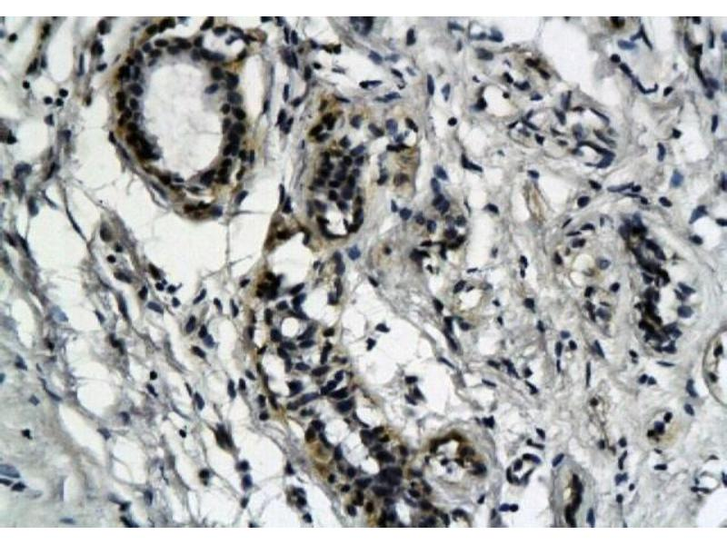 Immunohistochemistry (Paraffin-embedded Sections) (IHC (p)) image for anti-Cytochrome C antibody (Cytochrome C, Somatic) (ABIN2506675)