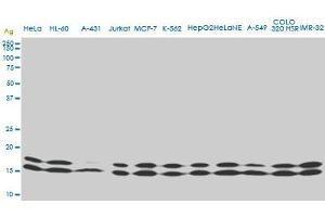 Western Blotting (WB) image for anti-Non-Metastatic Cells 1, Protein (NM23A) Expressed in (NME1) (AA 43-152) antibody (ABIN562004)