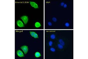 Image no. 2 for anti-TBC1 Domain Family, Member 10A (TBC1D10A) (N-Term) antibody (ABIN6391415)