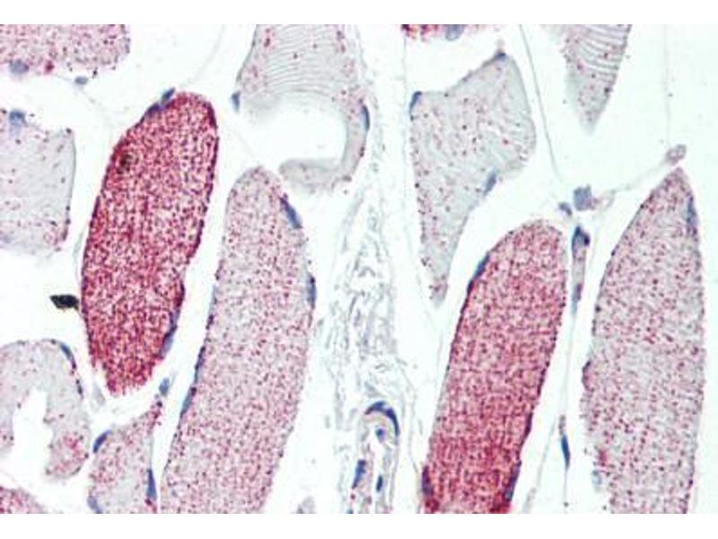 Image no. 3 for anti-Aconitase 2, Mitochondrial (ACO2) (AA 438-467) antibody (ABIN462115)