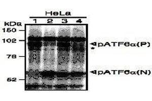 Image no. 1 for anti-Activating Transcription Factor 6 (ATF6) (N-Term) antibody (ABIN2451923)
