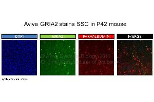 image for anti-Glutamate Receptor, Ionotropic, AMPA 2 (GRIA2) (N-Term) antibody (ABIN2792269)