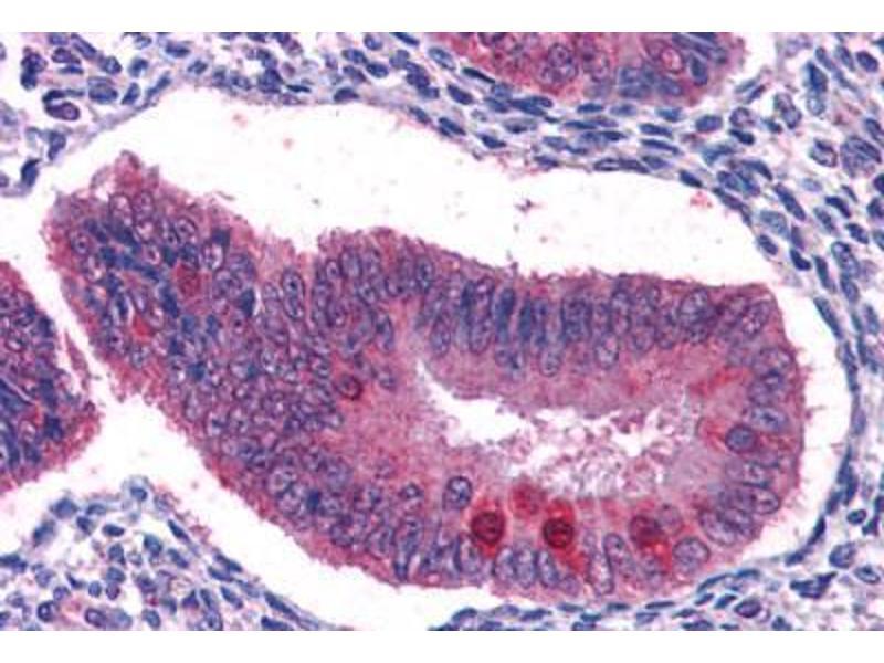Image no. 2 for anti-Forkhead Box O3 (FOXO3) (AA 661-673) antibody (ABIN481765)