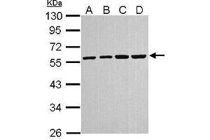 Western Blotting (WB) image for anti-Tubulin, alpha 4a (TUBA4A) (Center) antibody (ABIN2856883)